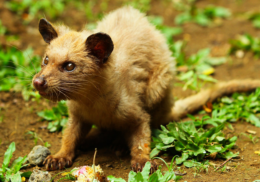 Luwak from Indonesia